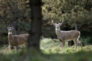 deer-doe-and-buck